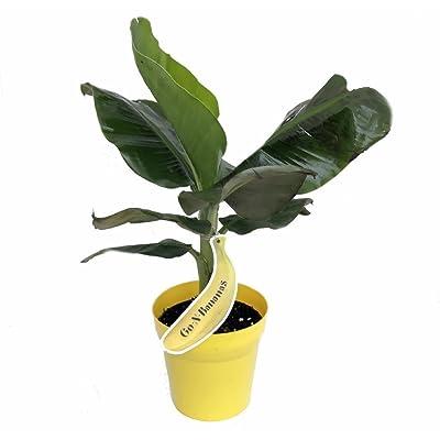 """Tropicana Patio Banana Plant - Musa - Great House Plant - 6"""" Pot : Garden & Outdoor"""