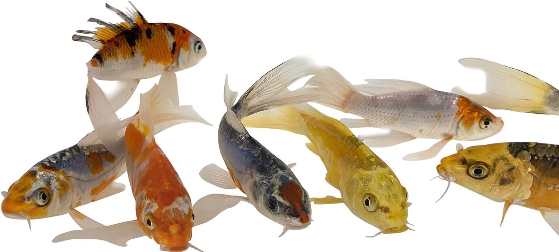 Goldfish Standard