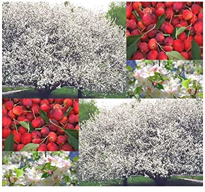 Siberian Manchurian CRAB APPLE Seeds - Malus baccata SEEDS - Zones 2-7 - By MySeeds.Co