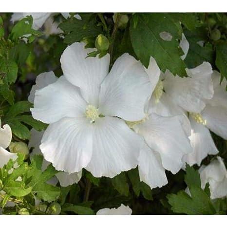 Amazoncom Diana White Hibiscus Rose Of Sharon Live Plant Quart
