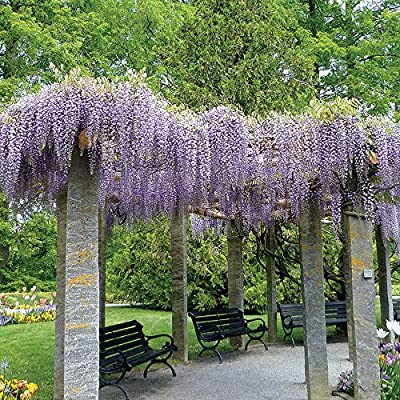"Blue Moon Wisteria Tree Living Plant 1 Year in 4"" Pot : Garden & Outdoor"