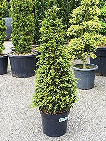 Europaische Eibe Ca 100 Cm Balkonpflanze Immergrun Winterfest