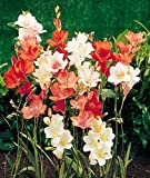 Kraft Seeds Tritonia Flower Bulb Mix (Pack of 8)