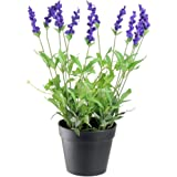 Ojorey Lavendra Fresh Indoor & Outdoor Flower Plant with Pot For Office and Home