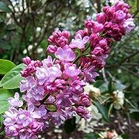 Fragantes franceses lila, Syringa vulgaris, 30 semillas