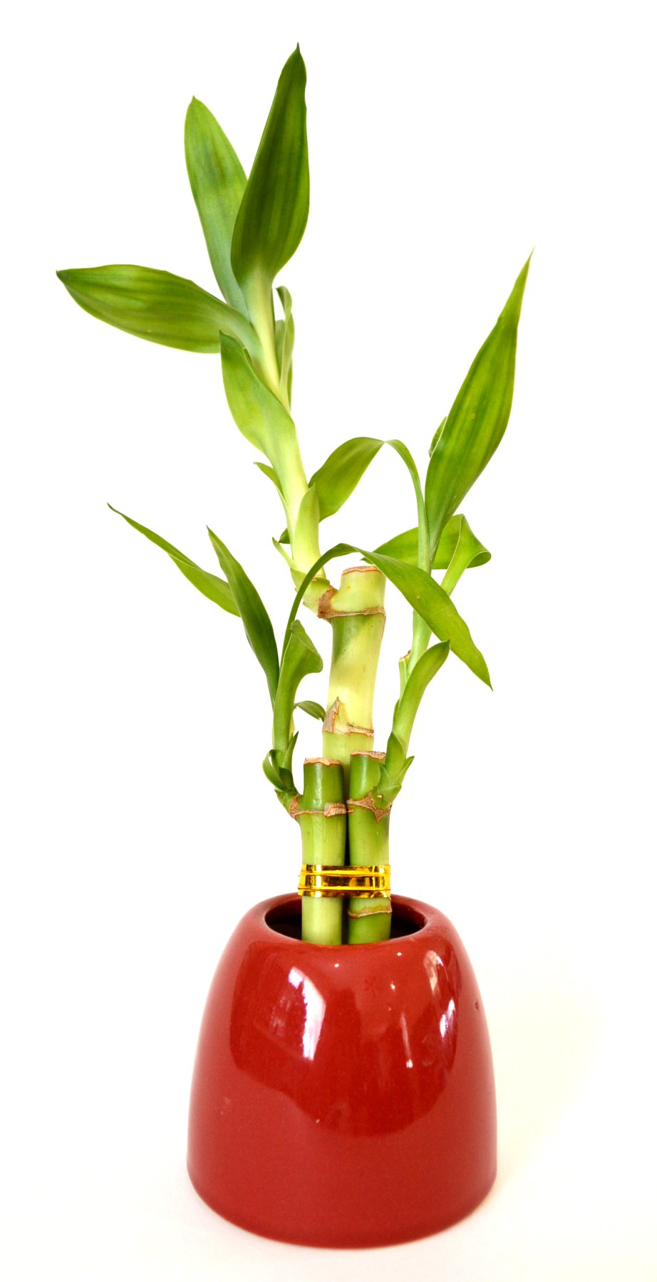 9GreenBox - Lucky Bamboo - Red Ceramic Pot