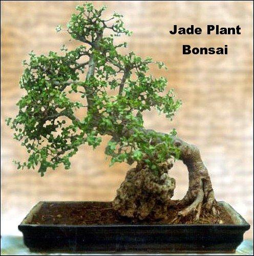 Jade Plant Crassula Ovuta Easy To Grow 4 Quot Pot Buy