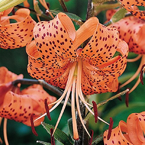 Tiger Lily Bulbs - Tigrinum Splendens - Bag of 10, Late Summer/Orange Flowers with Back Spots