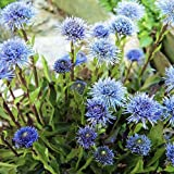 Plant World Seeds - globularia Valentina Seeds