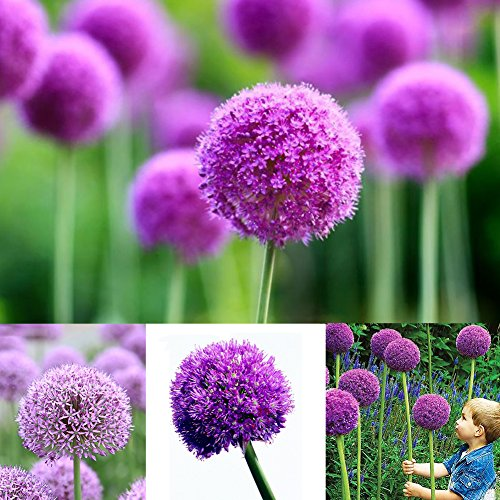 40 Pcs Allium Seeds Purple Giant Giganteum Onion Flower Planting Garden Decor