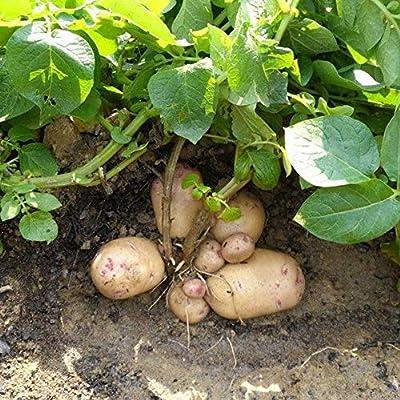Gardening Plant Seeds & 15Pcs Potato Seeds Garden Sweet Nutritious Delicious Vegetable Bonsai Plants : Garden & Outdoor
