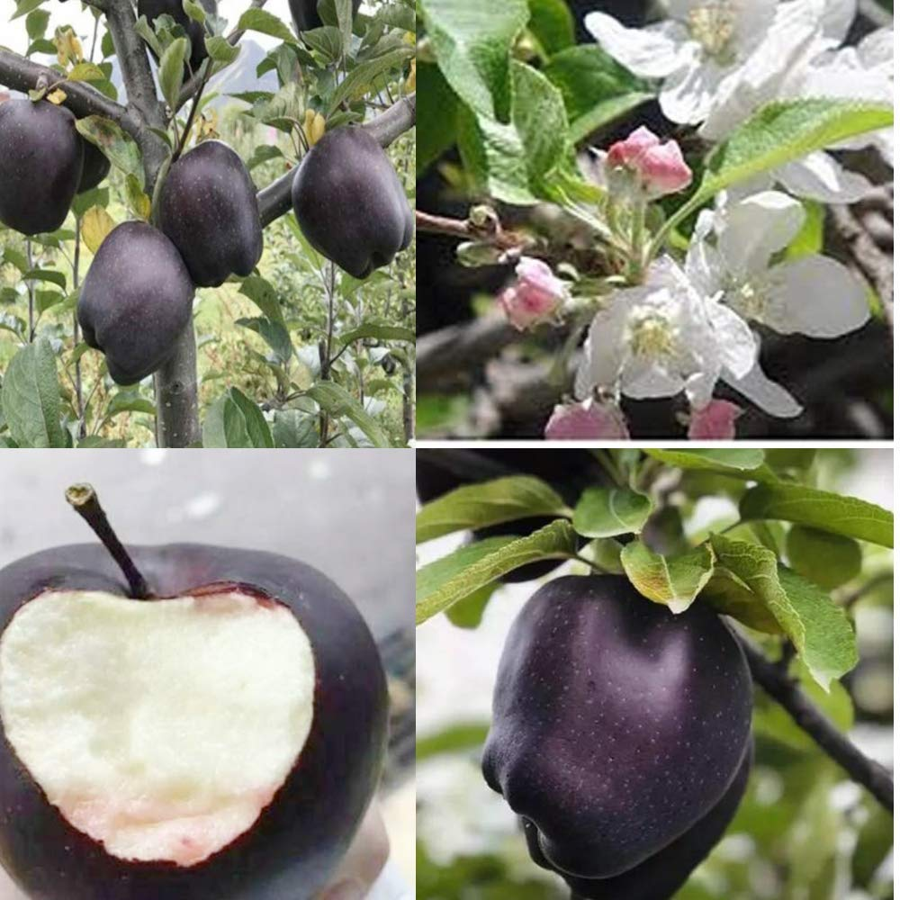 Royal Paradise Garden Rare Apple Fruit Seed Black Diamond Exotic 10 Fruit Seeds For Growing Amazon In Garden Outdoors