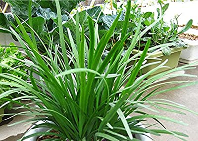 20 seeds/pack Vegetable Seeds - - Balcony Bonsai -chinese Chive Seed Garden Decoration Bonsai Flower Seeds