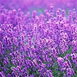 200pcs/pack France Provence Lavender Seeds to Grow, Wingbind Flower Seeds Fragrant Organic Flower Plant Seeds Home Garden Bonsai