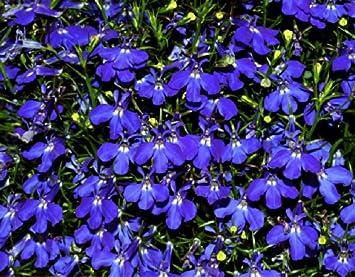Lobelia Hamburgia Lobelia Erinus L Flower Plant Seeds Annual