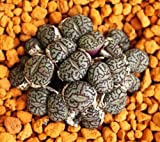 Conophytum Minimum Wittebergense rare mesembs exotic succulent stones 30 SEEDS