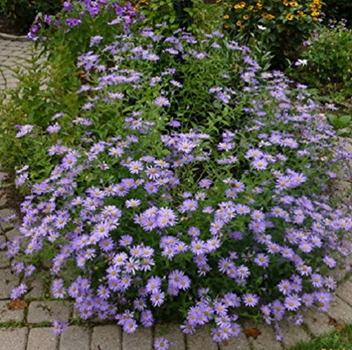 30 Seeds of Perennial Aster Frikartii Monch. Spectacular display of Lavender-blue daisy flowers on branching (Aster Daisy)