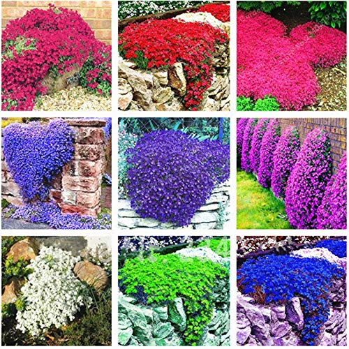 Mercury_Group, Flower Seeds_Rock CRESS Ground Cover Bonsai Creeping Thyme Flower Bonsai Carpet Evergreen Plant Easy to Grow for Garden Lawn 100 PCS