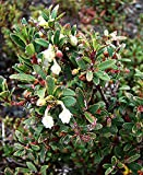100 Seeds Gaultheria pumila VAR. leucocarpa - White Flowering Mountain Shrub