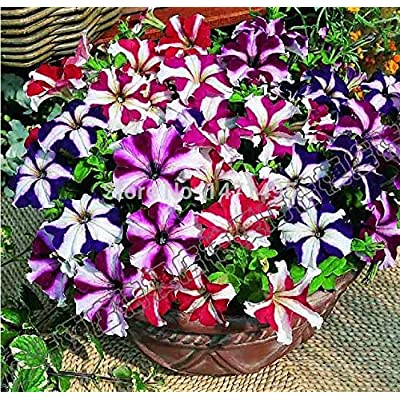 Petunia Bonsai 100pcs Garden Home Flowers Bonsai Balcony Flower Morning Glory Bonsai Petulantly Colorful Semillas: Garden & Outdoor