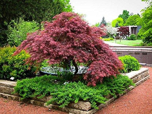 New Life Nursery & Garden / - Red Dragon Weeping Japanese Maple Tree Trade Gallon Pot by New Life Nursery & Garden (Image #1)