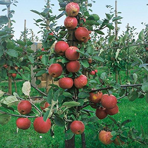 Apfel Roter Boskoop, Busch, 1 Pflanze