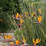NARROW LEAF BIRD OF PARADISE LIVE PLANT Exotic Orange Flower Strelitzia juncea