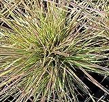 5 Starter Plants of Deschampsia Caespitosa Nothern Lights