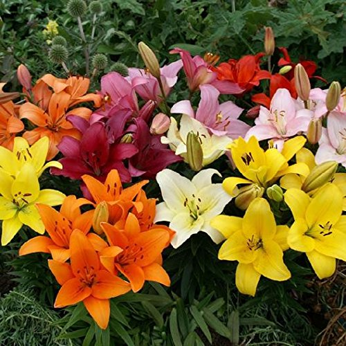 Seedsnpots Asiatic Lily Lilium Flower Rooted Big Size Bulbs Pack of 5:  Amazon.in: Garden & Outdoors