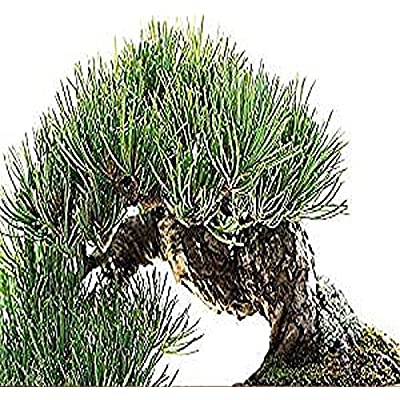 4 Packs x 5 Rocky Mountain Bristlecone Pine - Pinus aristata Tree Seeds - VERY COLD HARDY Zones 4-7 - By MySeeds.Co : Tomato Plants : Garden & Outdoor