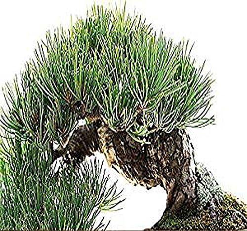 Pinkdose® Bristlecone Pine x 1 Pack: Rocky Mountain Bristlecone Pine Tree Seed - Pinus aristata Zonas 4-7 - por MySeeds. Co (Bristlecone Pine x 1 Pack): Amazon.es ...