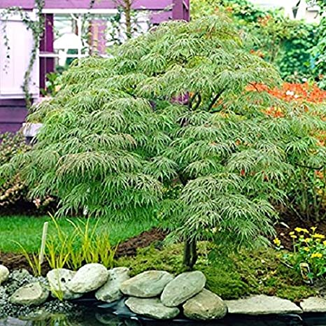 Amazoncom Waterfall Green Laceleaf Weeping Japanese Maple Tree