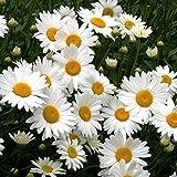 Shasta Daisy Seeds - 5 Pound, Bulk, Mixed, Flower Seeds