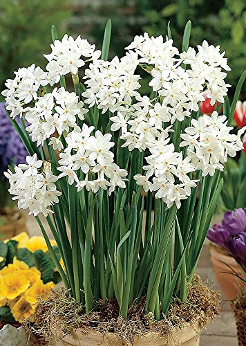 Ziva Paperwhite Narcissus - 5 Bulbs - 15/16 cm Bulbs - Indoor/Very - Paper Narcissus White