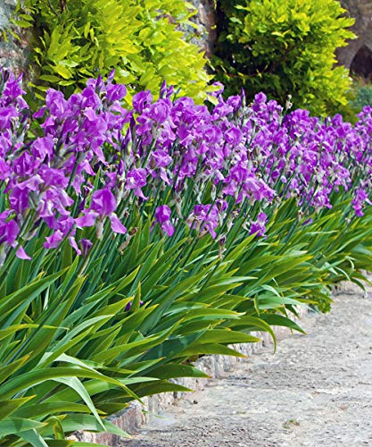 Mixed Dutch Diva Iris Bulbs - Beautiful, Bright, and Colorful Flowers Perfect for Gardens - Includes 30 Flower Bulbs