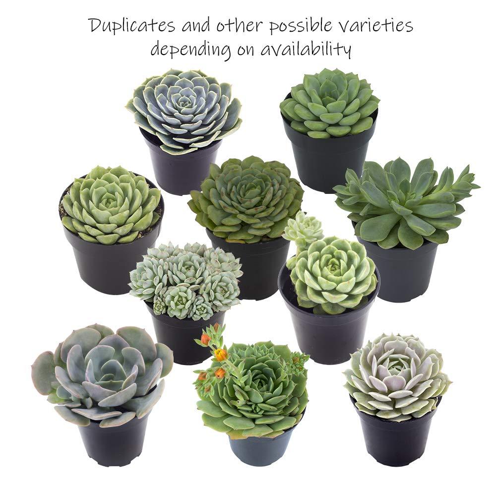 Altman Plants Assorted Live Succulents Flowering Rosette Collection Echeveria, sedeveria, perfect for party favors and arrangements, 3.5'', 9 Pack by Altman Plants (Image #5)