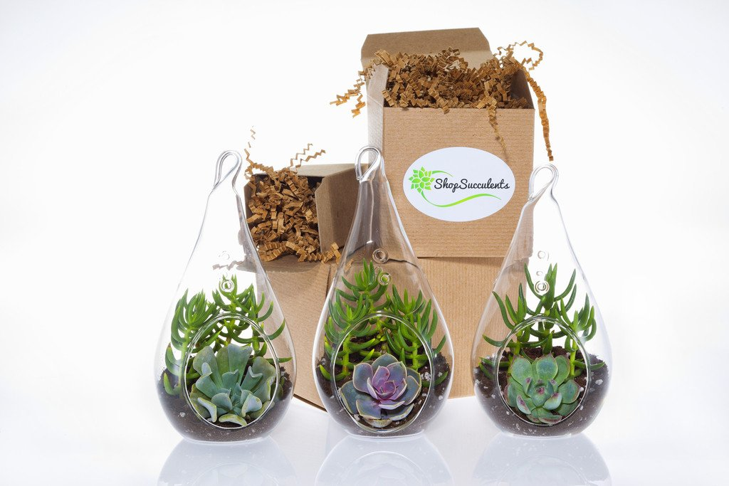 Shop Succulents | Teardrop Terrarium Collection of Live Succulent Plants, Hand Selected Variety | Collection of 3