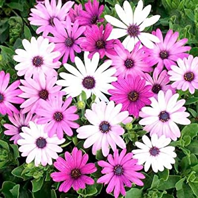 50 Purple and White African Daisy Seeds