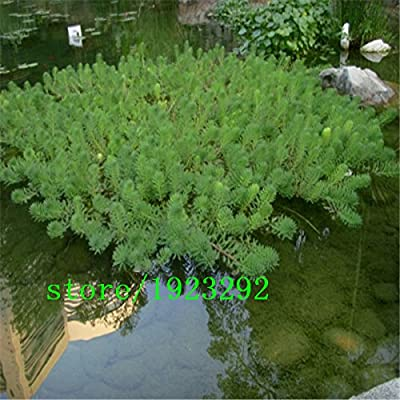 100 semillas / pack, semillas de pasto pluma mexicano - Stipa tenuissima - también llamado hierba hilo sedoso o aguja Hierba mexicana: Amazon.es: Jardín