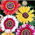 1000 Painted Daisy Seeds - Chrysanthemum Carinatum