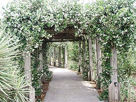 New Life Nursery & Garden Confederate Jasmine Vine Trade Gallon ...