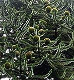 10 Samen Affenschwanz Tanne -Araucaria araucana- Monkeypuzzle