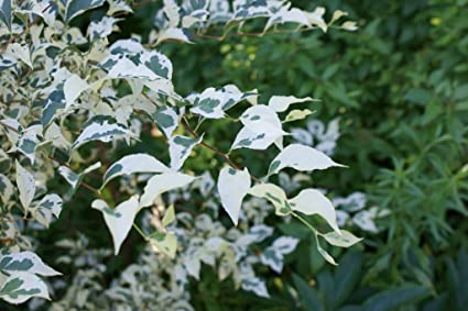 Amazon Com Variegated Japanese Snowbell Tree Fragrant Flowers