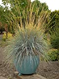 Perennial Farm Marketplace Helictotrichon sempervirens ((Blue Oat) Ornamental Grass, 1 Quart, Bluish Gray Foliage
