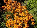 50 WALL FLOWER SEEDS - Erysimum cheiri