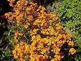 50 WALL FLOWER SEEDS - Erysimum cheiri