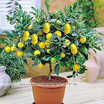 semillas de árboles frutales de limón semillas de árboles bonsai. semillas de color amarillo limón
