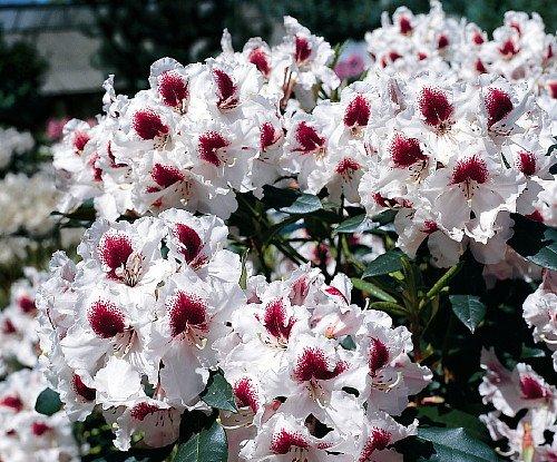 sapporo-rhododendron-pale-purple-to-white-purplish-red-25-pot