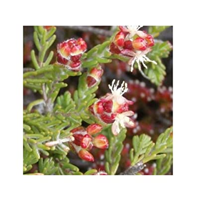 Passerina Obtusifolia Karoo Gonna Very Rare Tropical Plant Shrub Seeds 10 Seeds TF101 : Garden & Outdoor