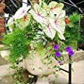 100pcs Colored Grass Seeds, Coleus Seeds Bonsai Potted Perennial Plant Flower Seeds for Home Garden Decor